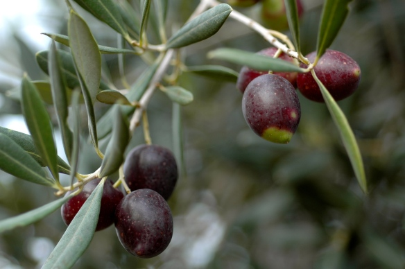 Olives in Cala d'Or