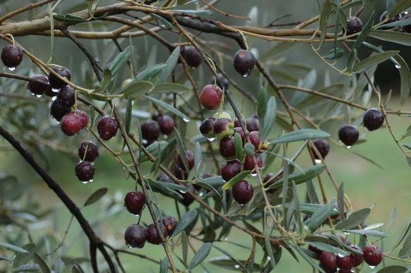 Olives in Mallorca
