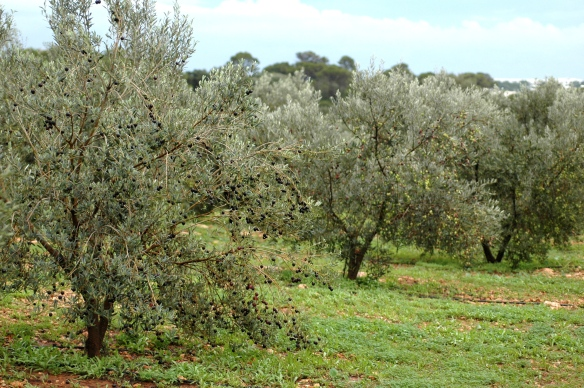 Olive trees in Mallorca