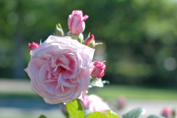 Rose in park cervantes
