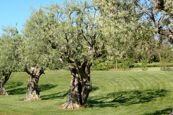 Olive trees in park cervantes
