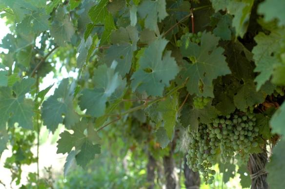 Vineyards in Somontano
