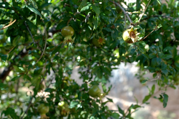 Pomegranate tree in Alquezar