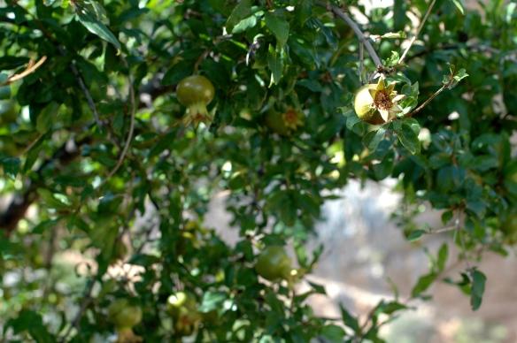 Pomegranate tree in Alquezar